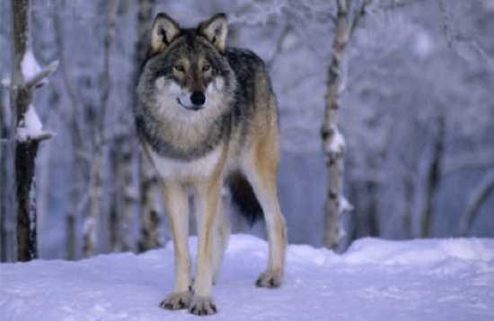 Norwegian-Wolf-Standing-In-Snow