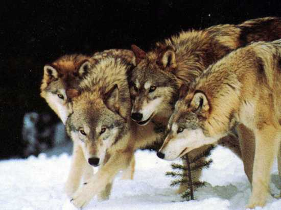 Wolf-Pack-Wolves-10113490-1024-768