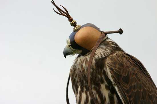Falcon In Hood