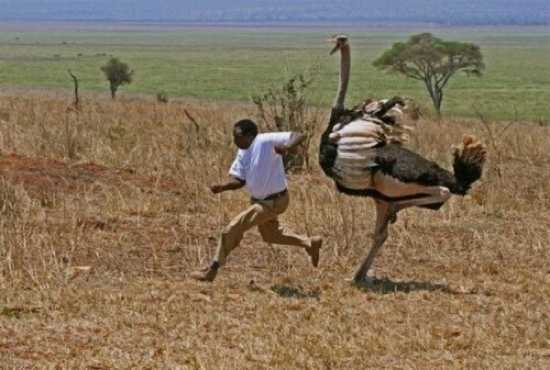 Man-Chased-Ostrich-500X337