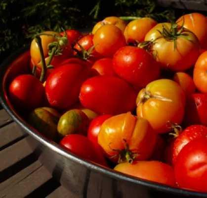 Growing-Tomatoes-300