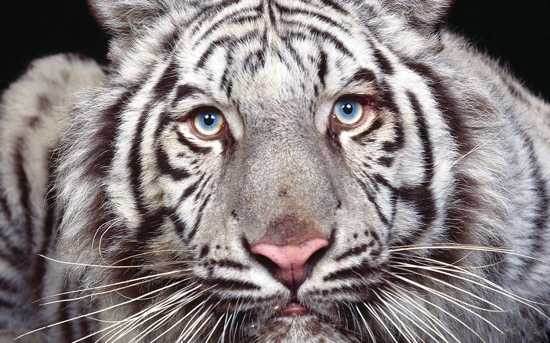 15  Maltese Tiger %28Blue Tiger%29