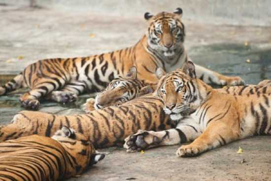 9627016-A-Group-Of-Tigers