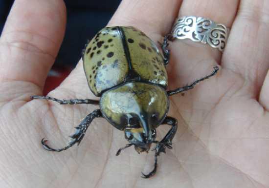 Hercules-Pet-Beetle