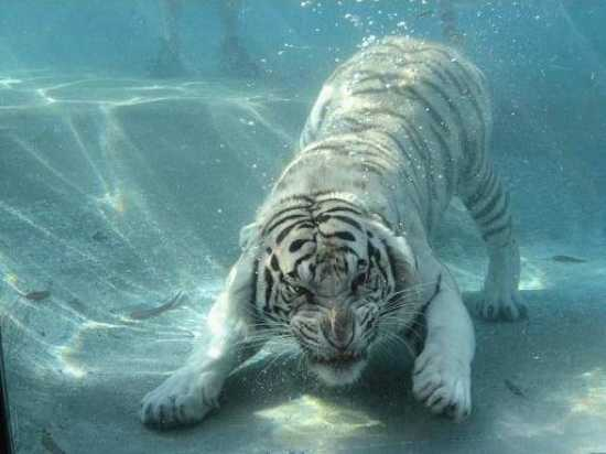 I-0Bd16614361A90Ea81383A8B974636A5-White.Tiger.Swimming.2