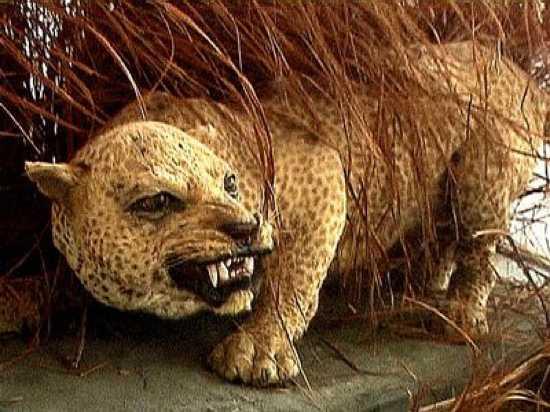Zanzibar-Leopard-Extinct-Since-1990S