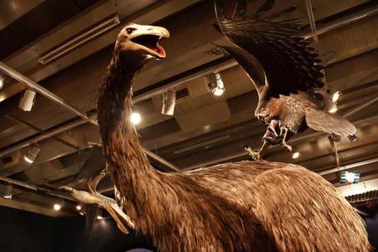 Moa And Eagle At Museum Of New Zealand Te Papa Tongarewa-5May2009