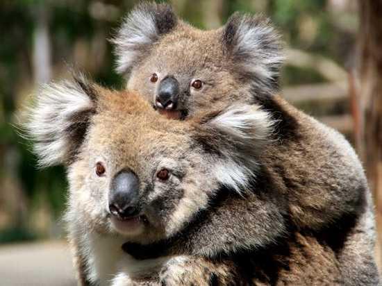Mother And Baby Koala, Australia