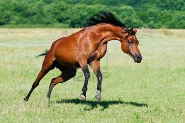 8298684-Bay-Arabian-Horse-Stallion-Runs-Gallop