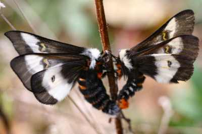 Buck-Moths-Getting-Buck-Wild