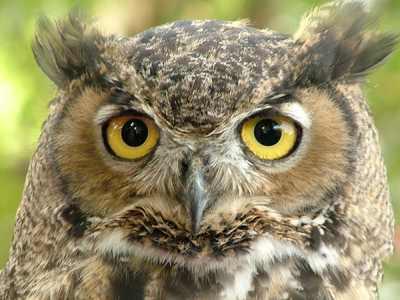 Great-Horned-Owl4