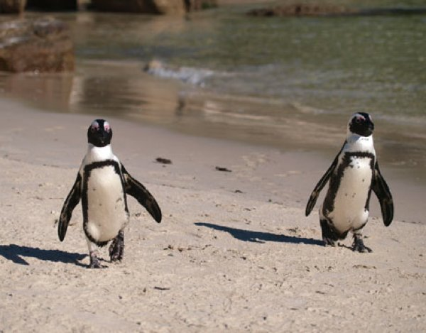 African-Penguins