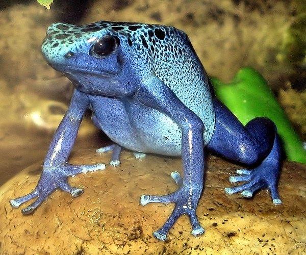 Blue Poison Dart Frog Arp