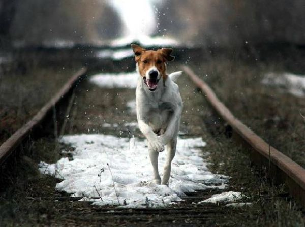 Dog on Tracks