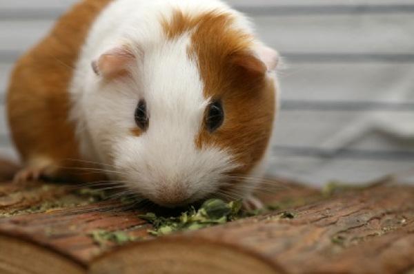 Guinea-Pig-Istock 000007424806Xsmall