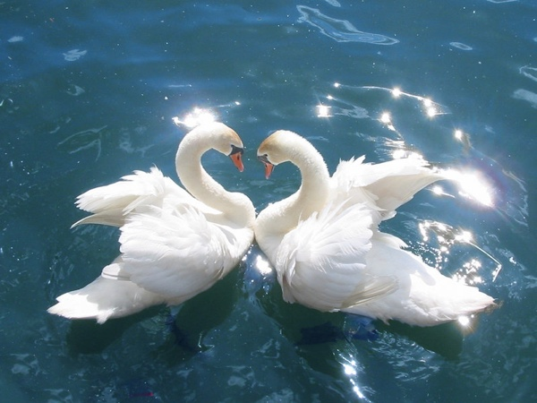 5-Swans