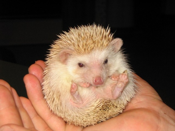 Albino-Hedgehog