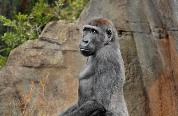 Gorillajabaristanding-03-08-Tm-765