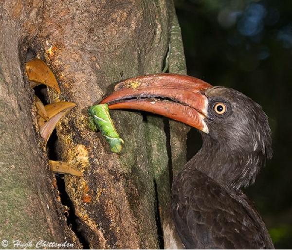 Crowned-Hornbill