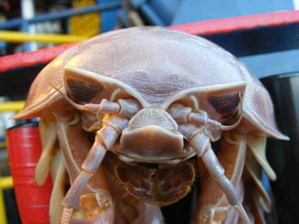 Giant-Isopod-Front