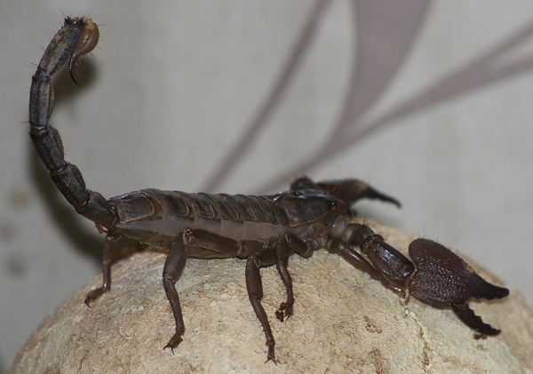 Heterometrus Swammerdami Indian Giant Forest Scorpion