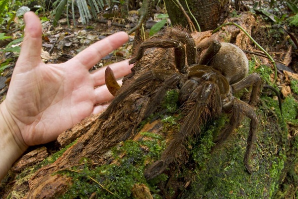 Piotr Naskrec Goliath Bird Eating Spider