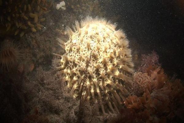 Spiky Sponge - Cinachyra Antarctica 003