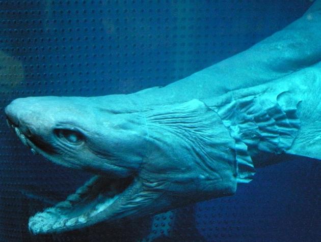 1280Px-Frilled Shark Head2