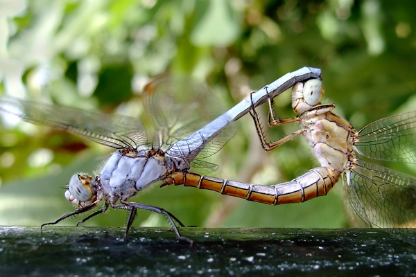 Dscf2278 Dragonfly Mating Wheel  Odonata  Oyenstikker