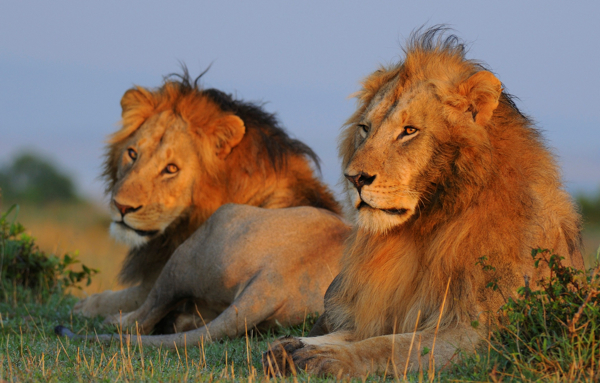 Homosexual behaviour in lions