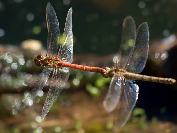 Dragon-Flies-Flying