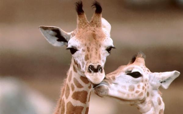 Giraffe homosexual relationship