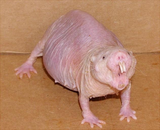 Naked-Mole