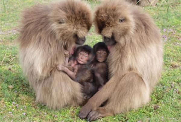Pregnant-Primate-Females-Geladas2-Lg