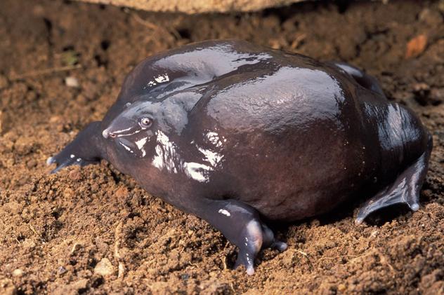 Purple-Frog-Female