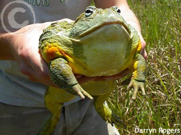 Pyxicephalus-Adspersus-African-Bullfrog-Wild-South-Africa-Veld-Darryn-Rogers-Size-Massive-Huge-Large-Giant