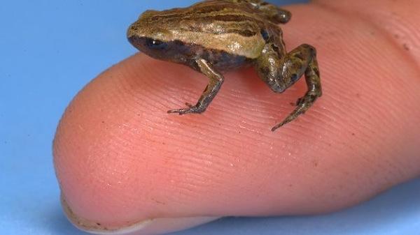 Topteaser Mini-Frosch-Papua-Neuguinea