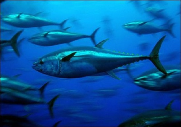 Bluefin-Tuna-Jj-001