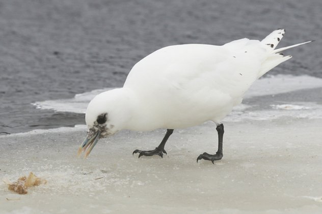 Ivory-Gull Topsail 05