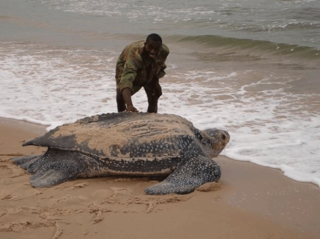 Leatherback Sea Turtle Giant