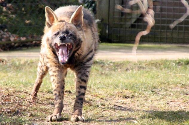Striped Hyena 20100220 004091-83111