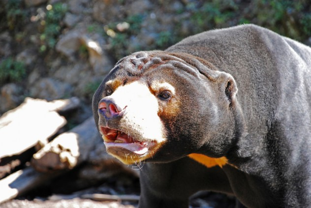 Bears Possess Some Of The Most Disagreeable Personalities In The Animal  Kingdom. While The Grizzly Bear Immediately Comes To Mind As The Most  Ferocious And ...