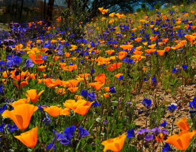 OroValleyWildFlowers