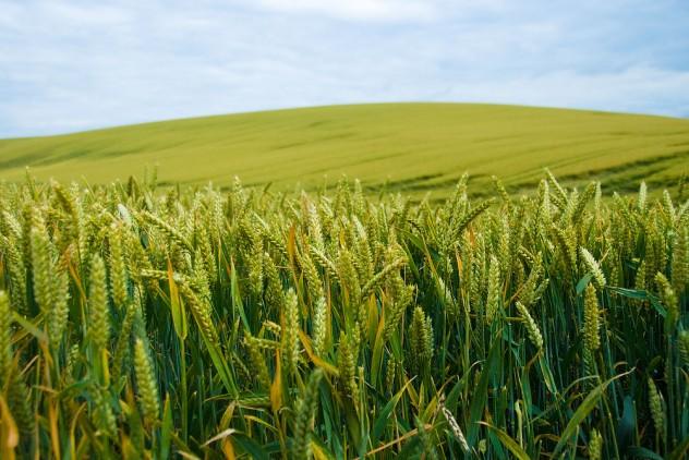 corn_field_3_a