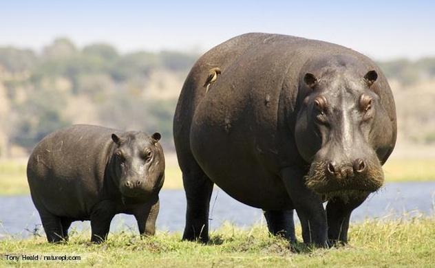 Hippopotamus 1