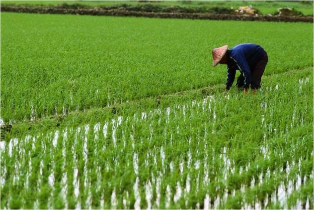 rice-paddy