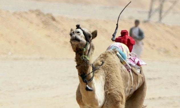 Robot Jockey Camel