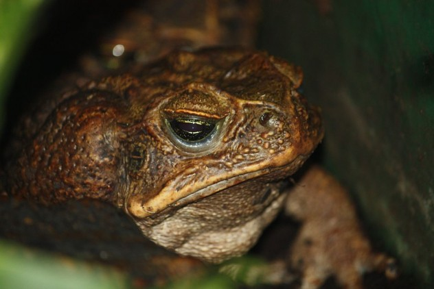 Cane_Toad