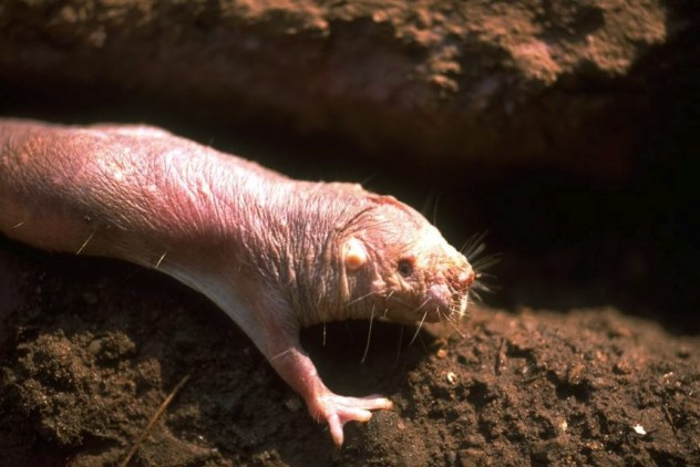 naked_mole_rat