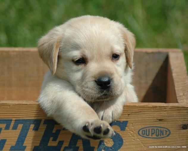 labrador_retriever_puppy_2